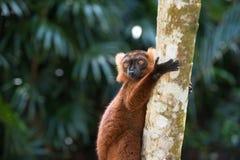 Lemur of Madagascar Royalty Free Stock Image