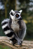 Lemur Maki catta Stock Photography