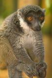 lemur mangusta Obraz Stock