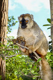 lemur marrón Rojo-afrontado, isla del lemur, andasibe Foto de archivo