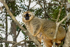 lemur marrón Rojo-afrontado, isla del lemur, andasibe Imagenes de archivo