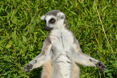 Lemur Meditating Stock Image