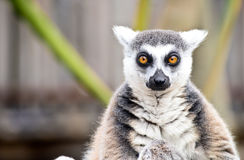 Lemur in melbourne Royalty Free Stock Image