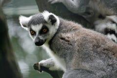 Lemur mit den geöffneten Augen, die nach einem Opfer suchen Stockbilder