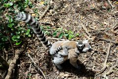 Lemur mom and pup. Close up of a black and white lemur monkey mother and baby on her back from Madagascar, Africa Stock Image