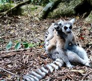 Lemur mom and pup. Close up of a black and white lemur monkey mother and baby on her back from Madagascar, Africa Stock Photo