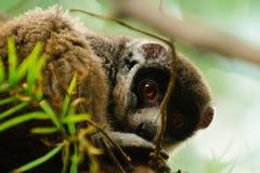 Lemur Mongoose Стоковые Фото