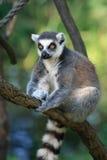 Lemur monkey Stock Photo