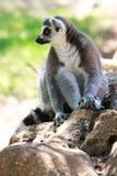 Lemur monkey Stock Image