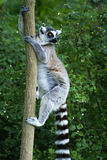 Lemur monkey. Lemur climbs a tree and staring into the distance Stock Image