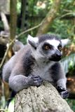 Lemur Monkey Stock Photography