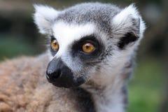 Lemur monkey Royalty Free Stock Photo