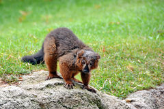 Lemur Monkey. Brown lemur monkey on rock Royalty Free Stock Photos