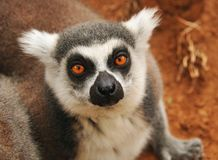 Lemur monkey close-up Stock Photos
