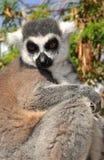 Lemur monkey closeup Royalty Free Stock Photography