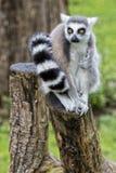 Lemur monkey Stock Photography