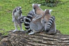 Lemur monkey Royalty Free Stock Images