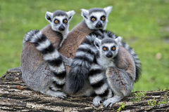 Lemur monkey. Family on the grass Stock Photos