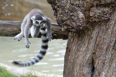 Lemur monkey Royalty Free Stock Image