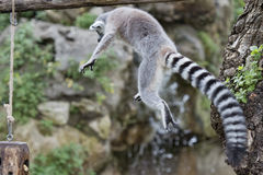 Lemur monkey Royalty Free Stock Photos