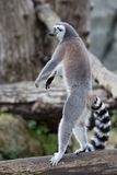Lemur monkey Royalty Free Stock Photography