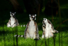 Lemur monkey family on the grass. Royalty Free Stock Photos