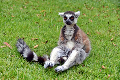 Lemur monkey. With his beautiful tail royalty free stock photos