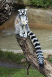 Lemur monkey while jeating an apple Royalty Free Stock Photo
