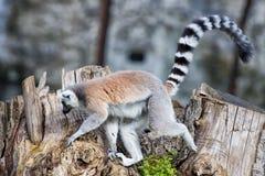 Lemur monkey while jumping Stock Photography