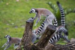 Lemur monkey while jumping Stock Photo