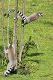 Lemur monkey while jumping Royalty Free Stock Image