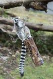 Lemur monkey while jumping Royalty Free Stock Images