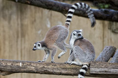 Lemur monkey while jumping Stock Photos
