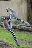 Lemur monkey while jumping Royalty Free Stock Photo