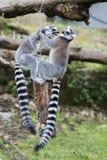 Lemur monkey while jumping Royalty Free Stock Photos