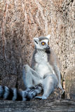 Lemur monkey while looking at you Stock Image