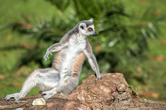 Lemur monkey while looking at you Stock Images