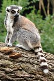 Lemur monkey is resting Stock Images