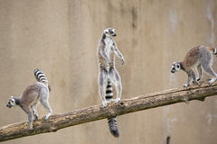 Lemur monkey while standing Stock Images
