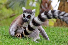 Lemur Monkey. Standing in grass Stock Photo
