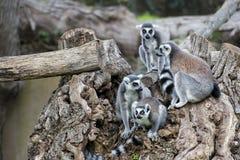 Lemur monkey on a tree Stock Image