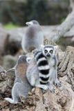 Lemur monkey on a tree Stock Photos