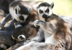 Lemur monkeys Royalty Free Stock Photography