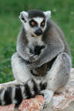 Lemur mother with babies Stock Images