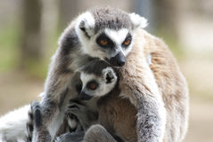 Lemur mother and baby Stock Photography