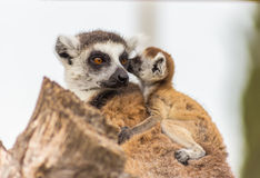 Lemur mother with baby on it back Stock Photos
