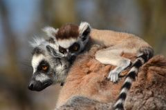 Lemur. Mother with her cub Stock Photography