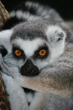 Lemur munito anello Immagini Stock Libere da Diritti