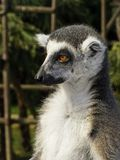 Lemur munito anello Fotografia Stock