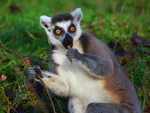 Lemur munito anello che pulisce i suoi denti Fotografia Stock